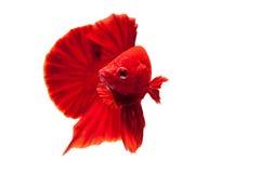 ryba siamese walczył Zdjęcia Stock