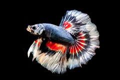 ryba siamese walczył Obrazy Royalty Free