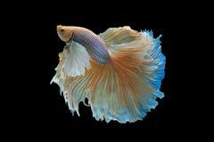 ryba siamese walczył Fotografia Stock