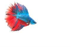ryba siamese walczył Obrazy Stock