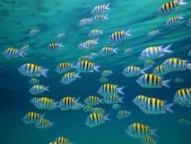 ryba specjalizują się sierżanta Zdjęcia Royalty Free