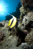 Ryba tropikalna ryba Obrazy Stock