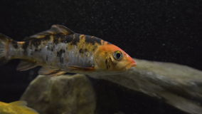 Ryba w akwarium zdjęcie wideo