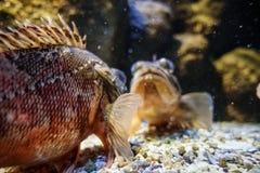 Ryba w akwarium, Grecja obrazy royalty free