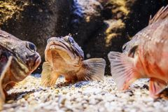 Ryba w akwarium, Grecja obraz royalty free