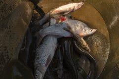 Ryba w klatce chwyt zdjęcia royalty free