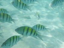 Ryba w morzu karaibskim Fotografia Royalty Free
