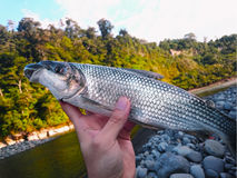 Ryba w rękach Fotografia Stock