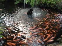 ryba w stawie Zdjęcie Stock