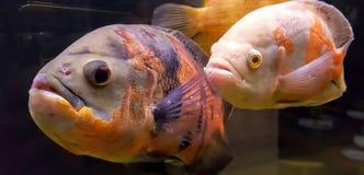 Ryba w zbiorniku woda obraz royalty free