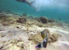 Ryba z śmiesznym spojrzenia dopłynięcia postem przed nurkiem Obrazy Royalty Free
