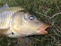 ryba złapana obraz royalty free