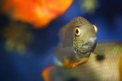 Ryba z dużymi oczami Obraz Royalty Free