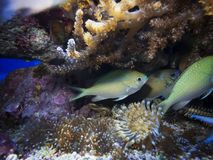 Ryba z koralami i anemony Zdjęcia Royalty Free