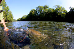 Rybak łapie brown pstrąg od rzeki Obrazy Stock