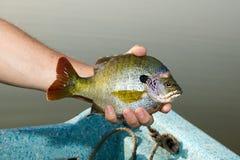 Rybak trzyma Bluegill niecki ryba obok jeziora Fotografia Royalty Free