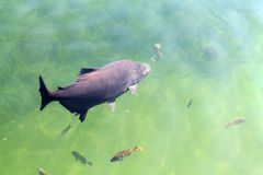 Rybi łasowanie na wodzie zdjęcie stock