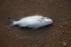 Rybi ścierwa przy Pattaya plażą, Tajlandia obraz stock