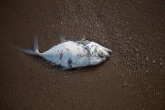 Rybi ścierwa przy Pattaya plażą, Tajlandia fotografia stock