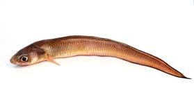 rybi świeży fotografia royalty free