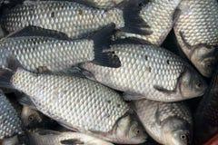 rybi świeży Obrazy Stock