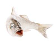 rybi świeży odosobniony biel Zdjęcie Royalty Free