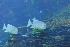 rybi żołnierz piechoty morskiej Fotografia Stock