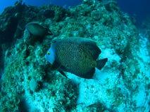 rybi anioła underwater Zdjęcia Royalty Free