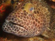 rybi brzydki Obraz Royalty Free