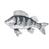 Rybi crucian karp, odosobniony czarny i biały, boczny widok, Ilustracja Wektor
