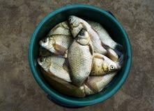 Rybi crucian (rzeczny karp) Zdjęcie Stock