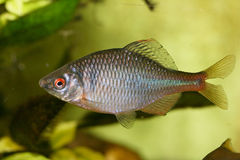 Rybi cyprinidae (Rhodeus amarus) Obraz Royalty Free