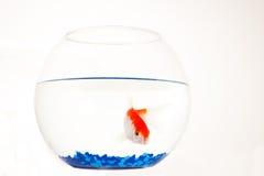 rybi czerwony biel Zdjęcie Royalty Free