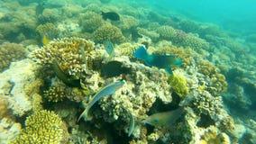 rybi czerwony morze Stubarwny rybi pływanie nad koralami Zdjęcie Royalty Free