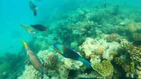 rybi czerwony morze Stubarwny rybi pływanie nad koralami Fotografia Royalty Free