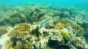 rybi czerwony morze Stubarwny rybi pływanie nad koralami Obraz Stock