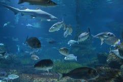 Rybi dopłynięcie w akwarium wodzie Obrazy Royalty Free