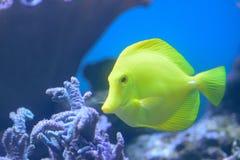 Rybi dopłynięcie w głęboki błękitny dennym nawadnia Obraz Stock