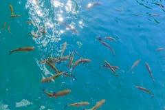 Rybi dopłynięcie w jasny błękitnym nawadnia Plitvice jeziora, Croati Obrazy Royalty Free