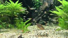 Rybi dopłynięcie w wodnym gmeraniu dla jedzenia zbiory wideo