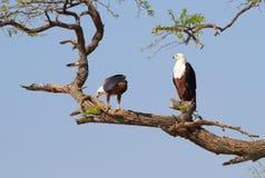 Rybi Eagle Zdjęcia Royalty Free