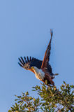 Rybi Eagle Obraz Royalty Free