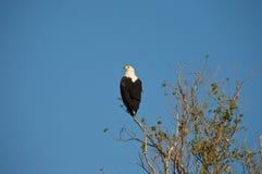 Rybi Eagle Zdjęcia Stock