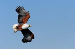 Rybi Eagle Obrazy Stock