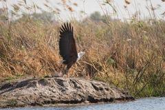 Rybi Eagle bierze lot w płochach Zdjęcia Royalty Free