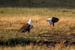 Rybi Eagle, Chobe - N P Botswana, Afryka Fotografia Royalty Free