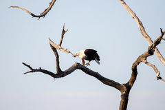 Rybi Eagle, Chobe - N P Botswana, Afryka Zdjęcia Royalty Free