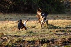 Rybi Eagle, Chobe - N P Botswana, Afryka Zdjęcia Stock