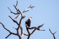 Rybi Eagle, Chobe - N P Botswana, Afryka Obraz Royalty Free