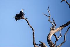 Rybi Eagle, Chobe - N P Botswana, Afryka Fotografia Stock